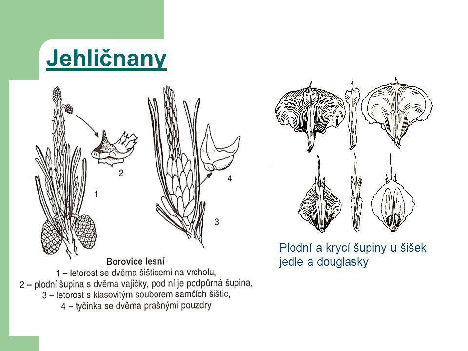 Plodní a krycí šupiny u šišek jedle a douglasky Jehličnany