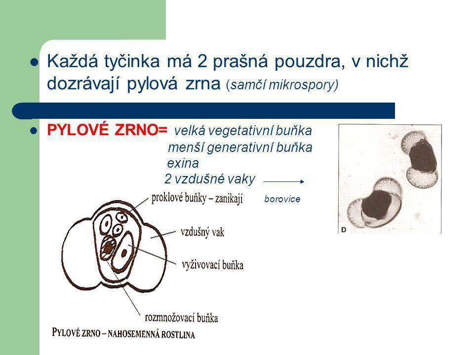  Každá tyčinka má 2 prašná pouzdra, v nichž dozrávají pylová zrna (samčí mikrospory)  PYLOVÉ ZRNO= velká vegetativní buňka menší generativní buňka exina 2 vzdušné vaky borovice