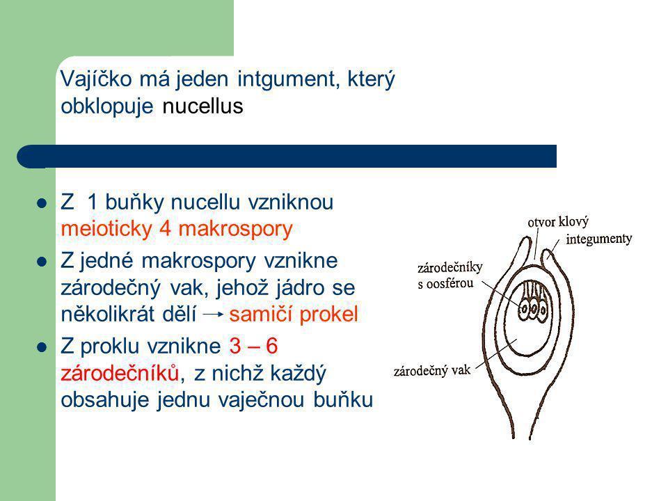 Vajíčko má jeden intgument, který obklopuje nucellus  Z 1 buňky nucellu vzniknou meioticky 4 makrospory  Z jedné makrospory vznikne zárodečný vak, jehož jádro se několikrát dělí samičí prokel  Z proklu vznikne 3 – 6 zárodečníků, z nichž každý obsahuje jednu vaječnou buňku