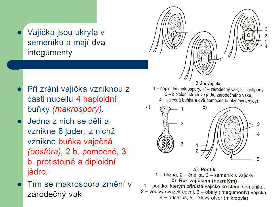  Vajíčka jsou ukryta v semeníku a mají dva integumenty  Při zrání vajíčka vzniknou z části nucellu 4 haploidní buňky (makrospory).