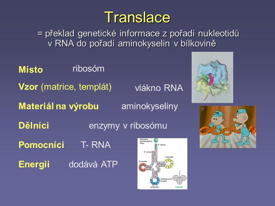Translace = překlad genetické informace z pořadí nukleotidů v RNA do pořadí aminokyselin v bílkovině Vzor (matrice, templát) vlákno RNA Materiál na výrobu aminokyseliny Dělnícienzymy v ribosómu Energiidodává ATP PomocníciT- RNA Místo ribosóm