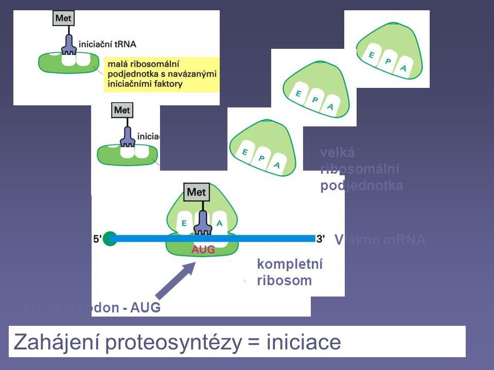 Zahájení proteosyntézy = iniciace velká ribosomální podjednotka kompletní ribosom Vlákno mRNA iniciační kodon - AUG