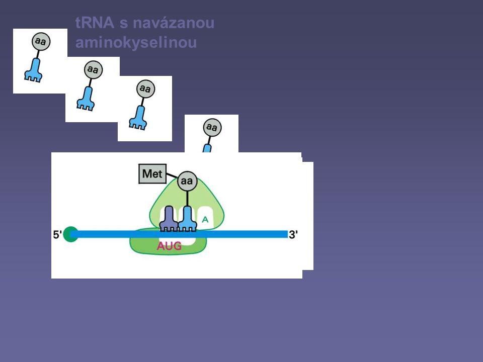 tRNA s navázanou aminokyselinou