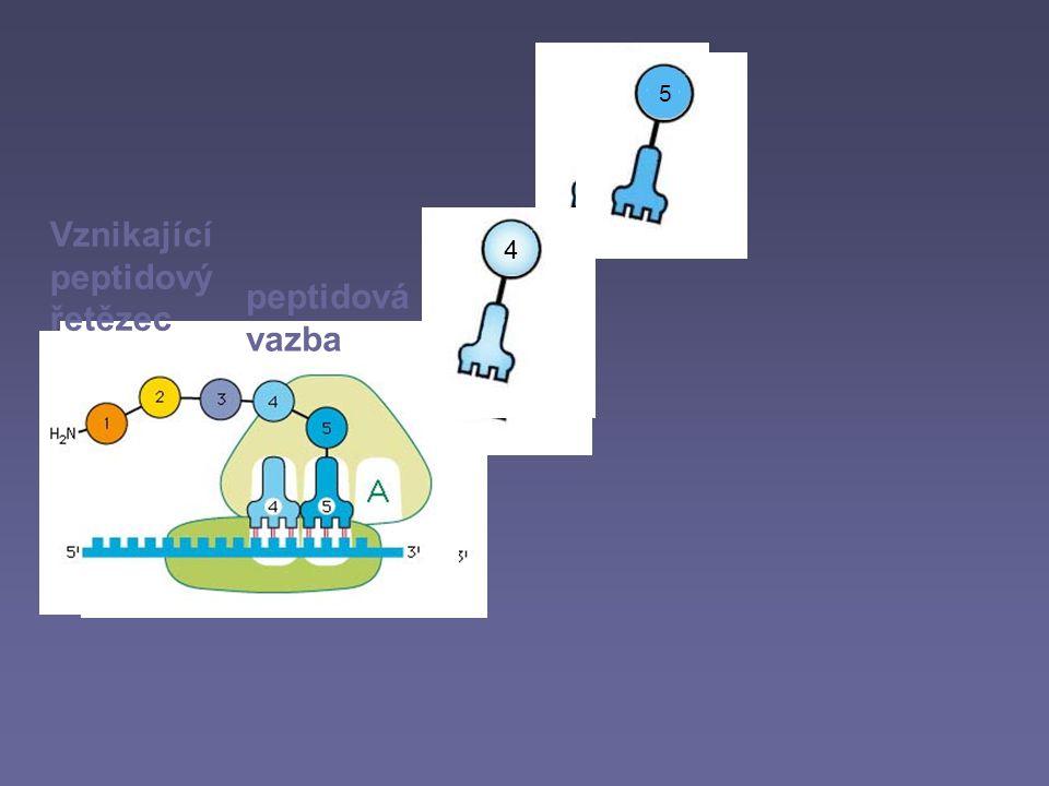 5 4 5 4 Vznikající peptidový řetězec peptidová vazba