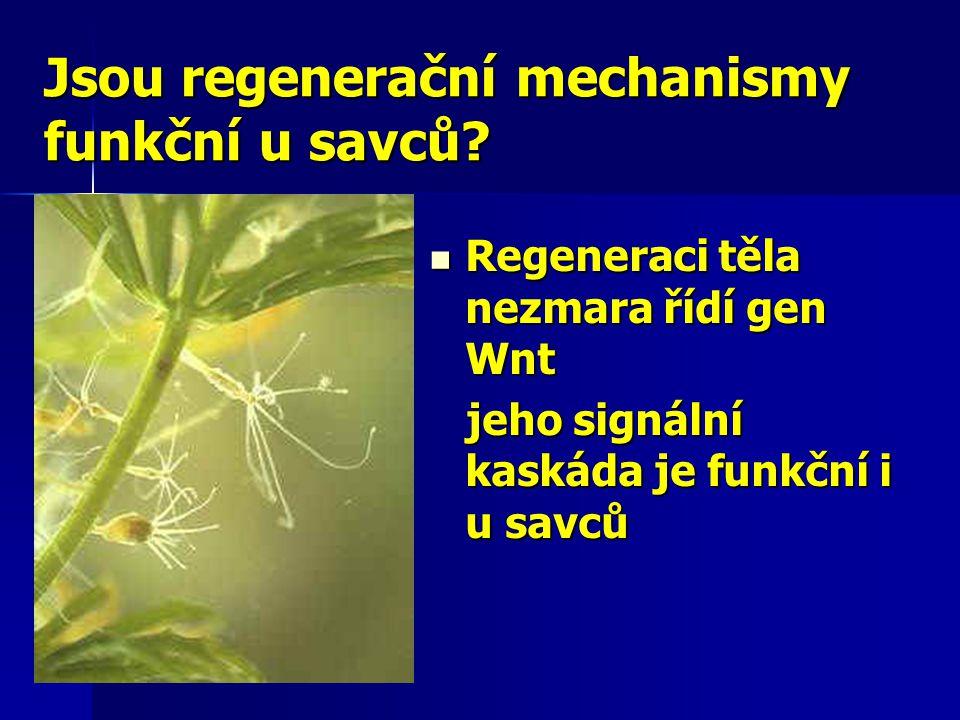 Jsou regenerační mechanismy funkční u savců?  Regeneraci těla nezmara řídí gen Wnt jeho signální kaskáda je funkční i u savců jeho signální kaskáda j
