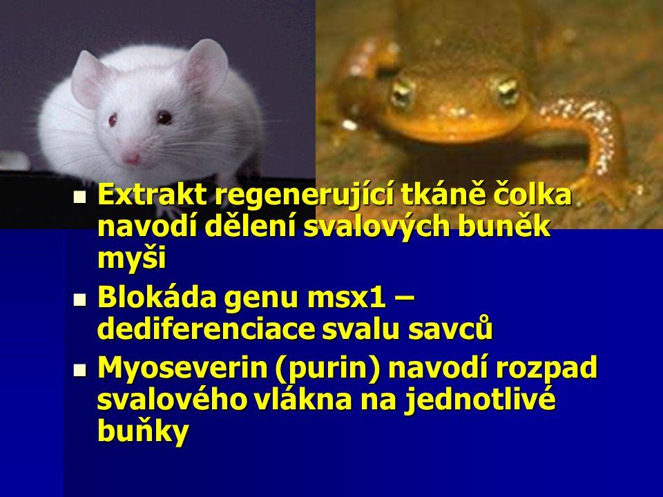  Extrakt regenerující tkáně čolka navodí dělení svalových buněk myši  Blokáda genu msx1 – dediferenciace svalu savců  Myoseverin (purin) navodí roz