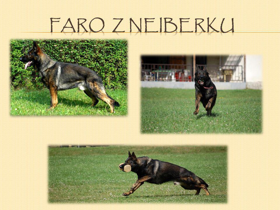 Faro je pěkně rostlý, vlkošedý silný pes s VÝBORNÝM hodnocením z KVV, oplývá velkým sebevědomím, které má po svém otci, které předvádí především při o