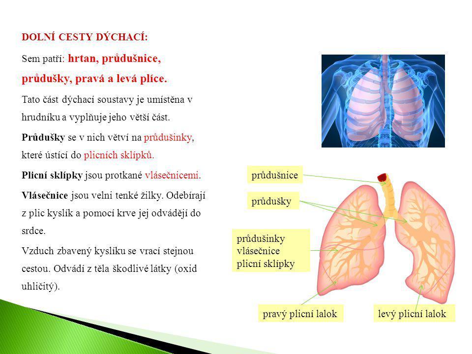 DOLNÍ CESTY DÝCHACÍ: Sem patří: hrtan, průdušnice, průdušky, pravá a levá plíce. Tato část dýchací soustavy je umístěna v hrudníku a vyplňuje jeho vět