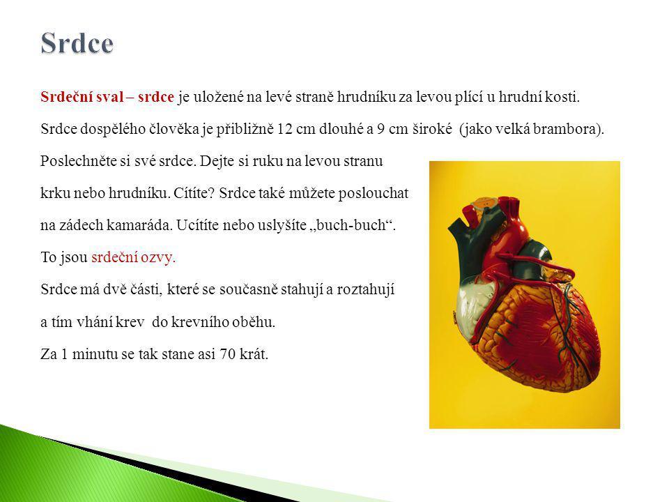 Srdeční sval – srdce je uložené na levé straně hrudníku za levou plící u hrudní kosti. Srdce dospělého člověka je přibližně 12 cm dlouhé a 9 cm široké