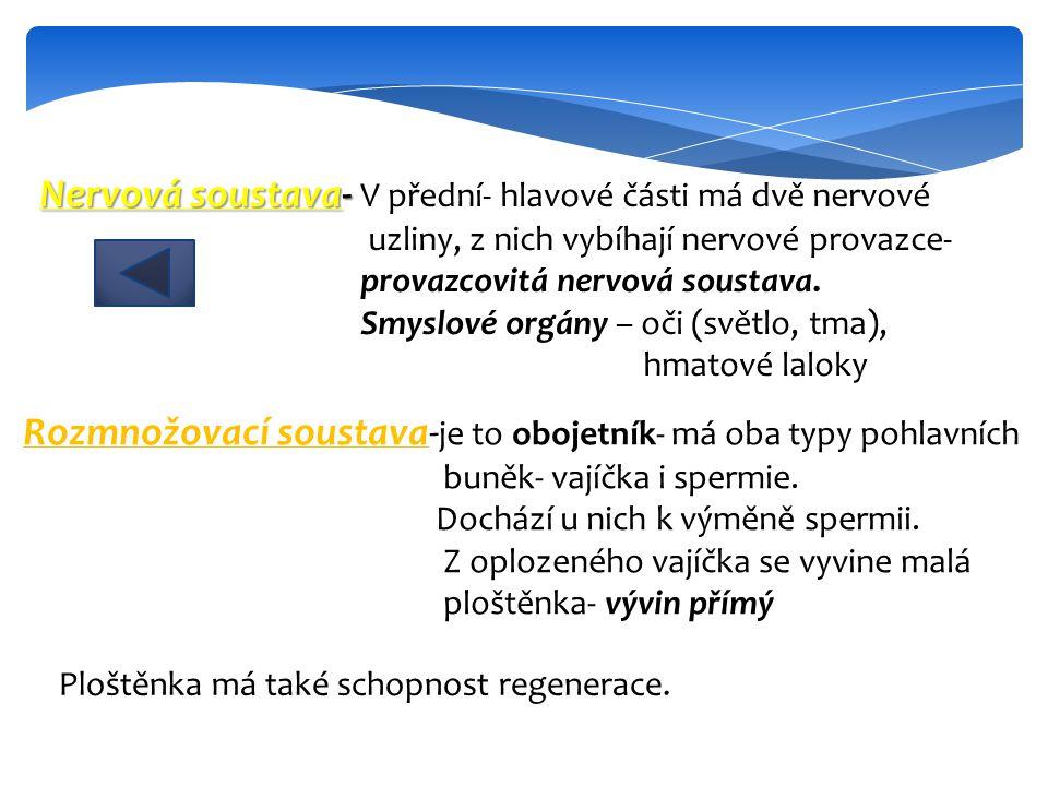 Nervová soustava- Nervová soustava- V přední- hlavové části má dvě nervové uzliny, z nich vybíhají nervové provazce- provazcovitá nervová soustava. Sm