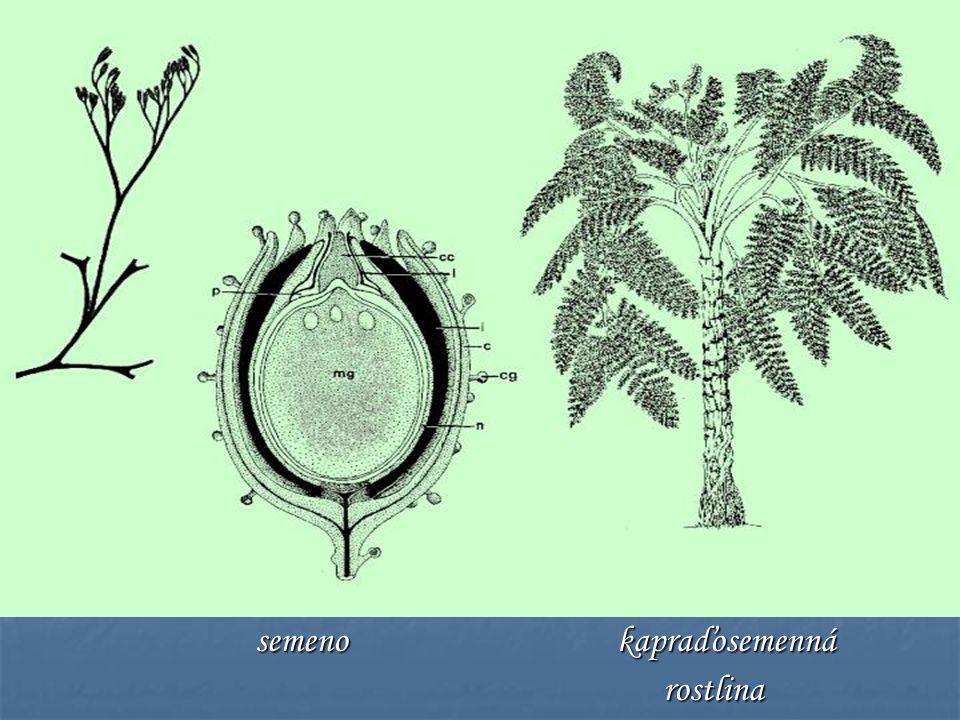 semeno kapraďosemenná semeno kapraďosemenná rostlina rostlina