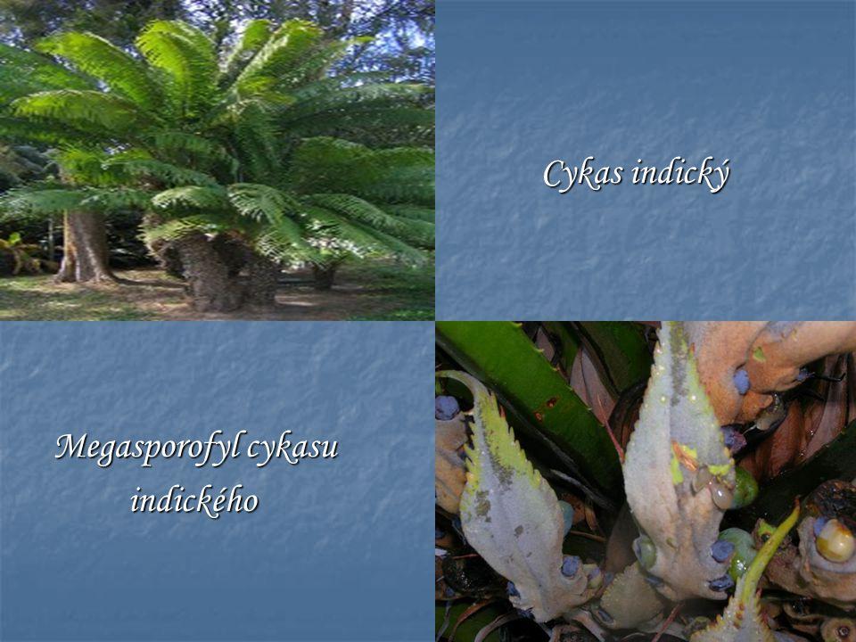 Cykas indický Cykas indický Megasporofyl cykasu indického indického