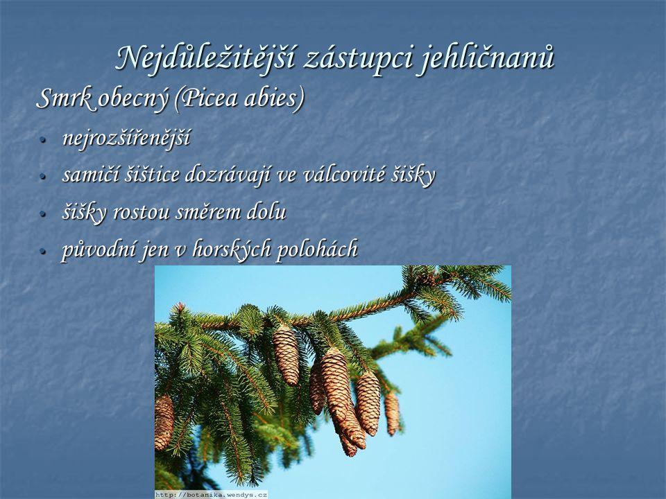 Nejdůležitější zástupci jehličnanů Smrk obecný (Picea abies) • nejrozšířenější • samičí šištice dozrávají ve válcovité šišky • šišky rostou směrem dol