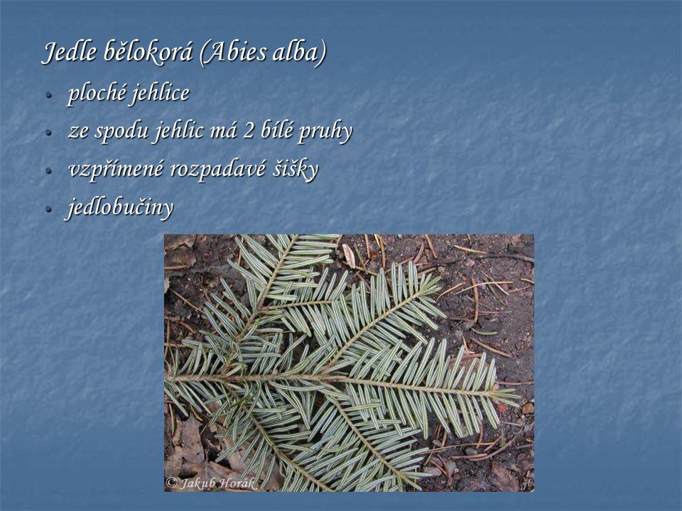 Jedle bělokorá (Abies alba) • ploché jehlice • ze spodu jehlic má 2 bílé pruhy • vzpřímené rozpadavé šišky • jedlobučiny