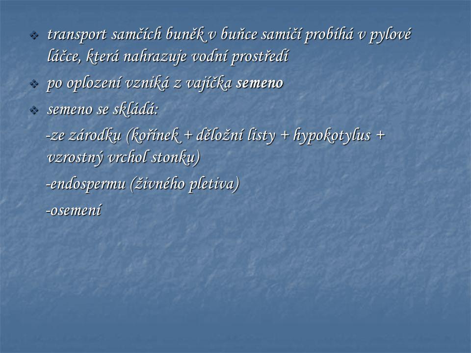 Tis červený (Taxus baccata) • nepřítomnost pryskyřičných kanálků • jedovatý !!!.