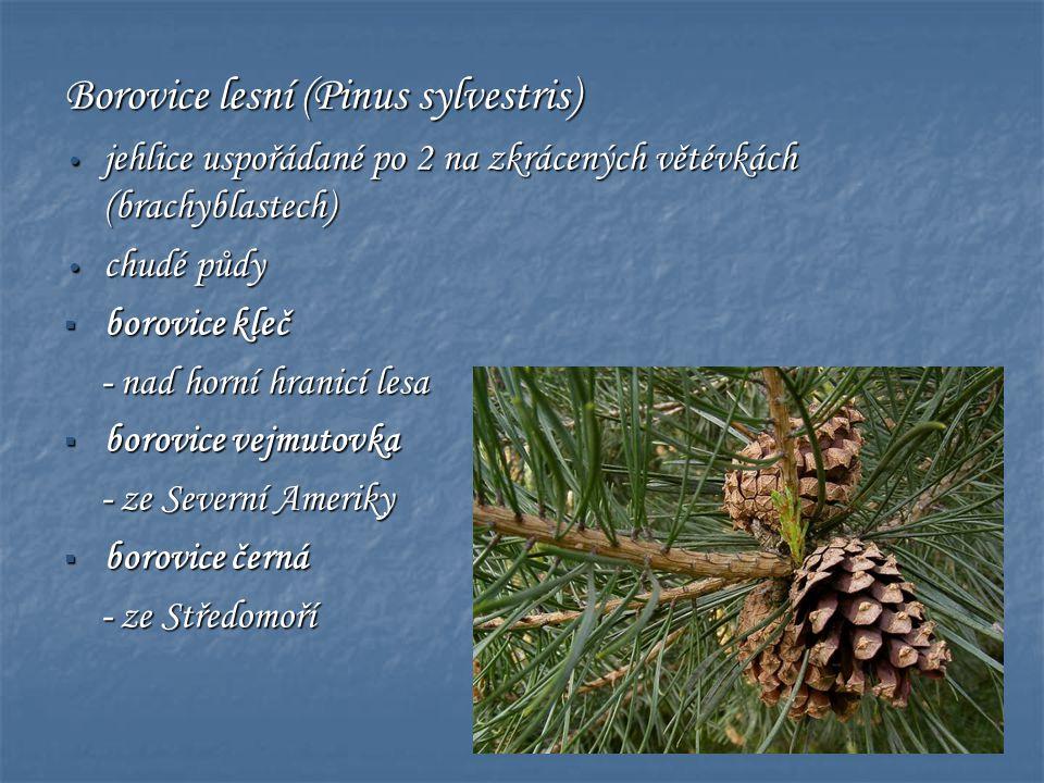 Borovice lesní (Pinus sylvestris) • jehlice uspořádané po 2 na zkrácených větévkách (brachyblastech) • chudé půdy  borovice kleč - nad horní hranicí
