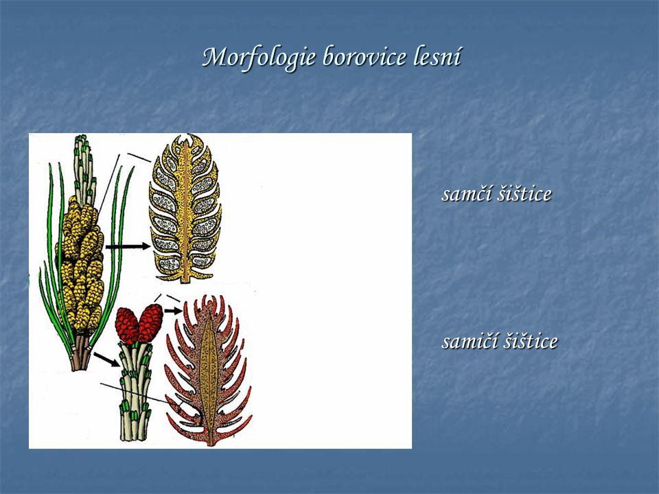 Morfologie borovice lesní samčí šištice samičí šištice