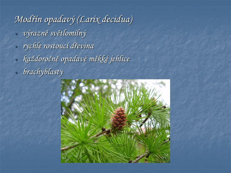 Modřín opadavý (Larix decidua) • výrazně světlomilný • rychle rostoucí dřevina • každoročně opadavé měkké jehlice • brachyblasty