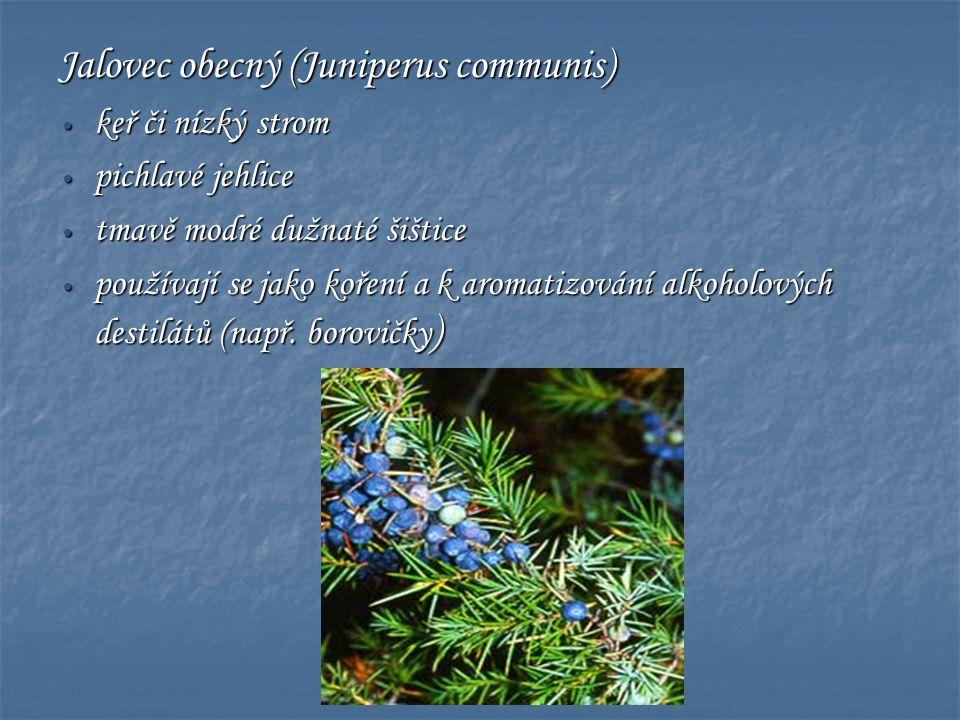 Jalovec obecný (Juniperus communis) • keř či nízký strom • pichlavé jehlice • tmavě modré dužnaté šištice • používají se jako koření a k aromatizování