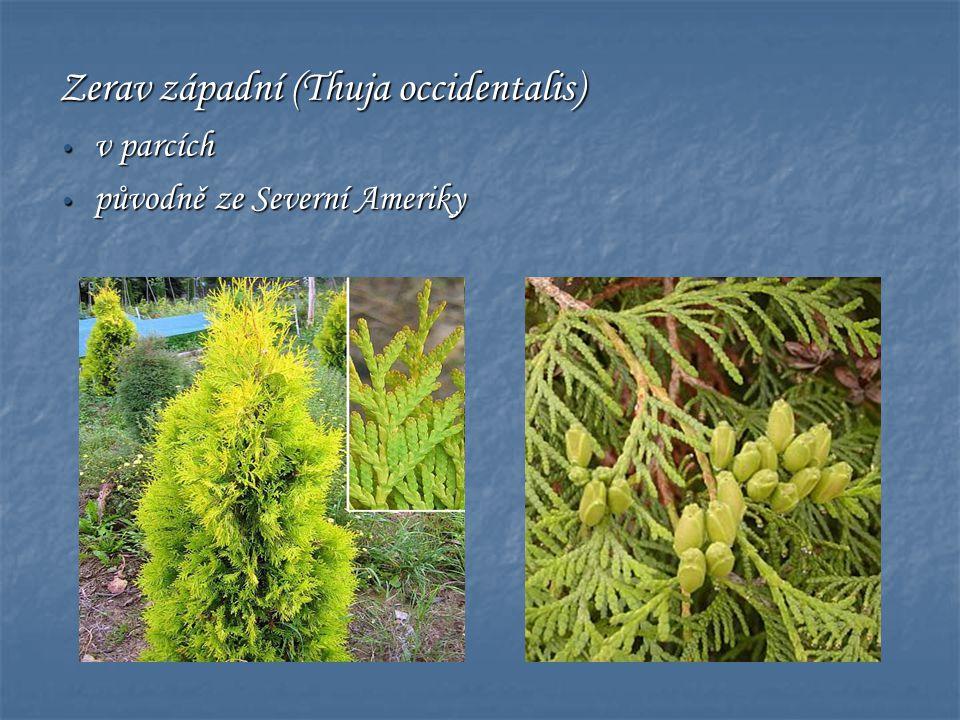 Zerav západní (Thuja occidentalis) • v parcích • původně ze Severní Ameriky