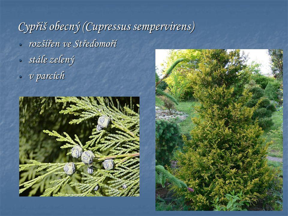 Cypřiš obecný (Cupressus sempervirens) • rozšířen ve Středomoří • stále zelený • v parcích