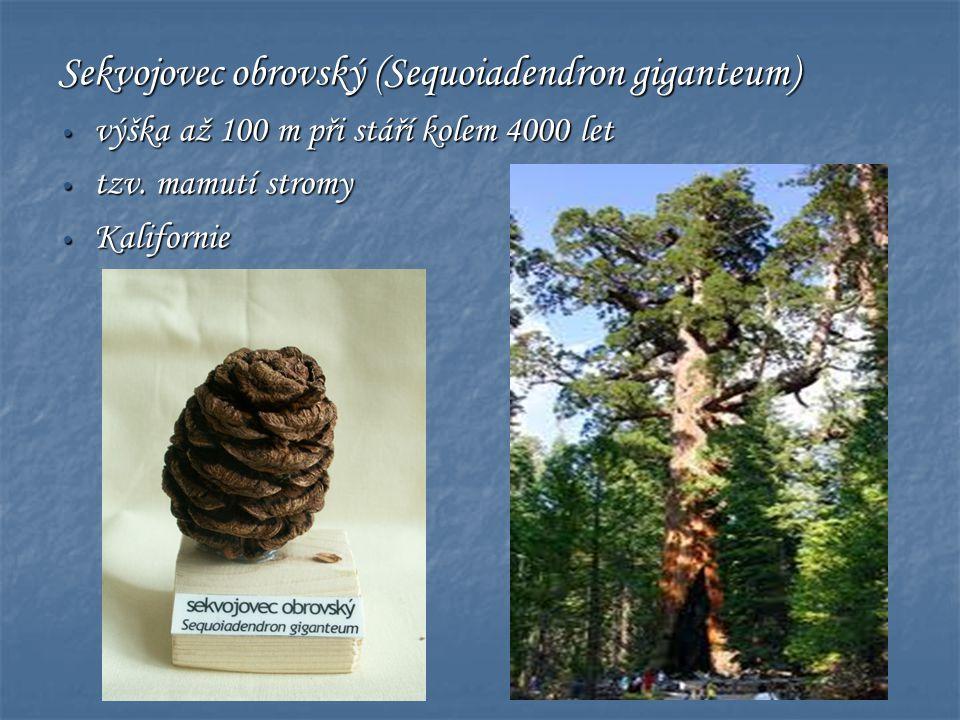 Sekvojovec obrovský (Sequoiadendron giganteum) • výška až 100 m při stáří kolem 4000 let • tzv. mamutí stromy • Kalifornie