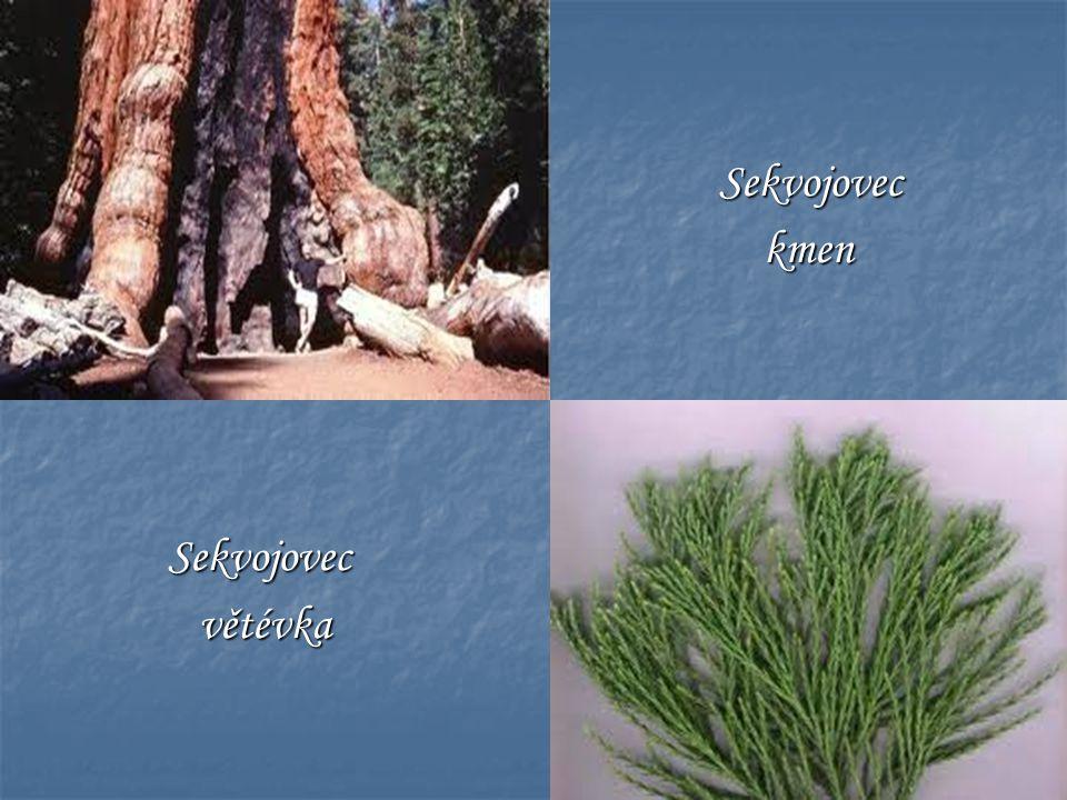 Sekvojovec Sekvojovec kmen kmen Sekvojovec Sekvojovec větévka větévka