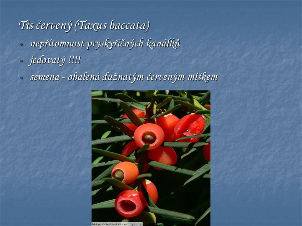 Tis červený (Taxus baccata) • nepřítomnost pryskyřičných kanálků • jedovatý !!!! • semena - obalená dužnatým červeným míškem