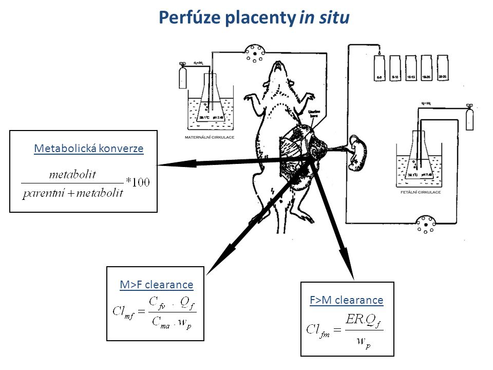 Perfúze placenty in situ Metabolická konverze M>F clearance F>M clearance