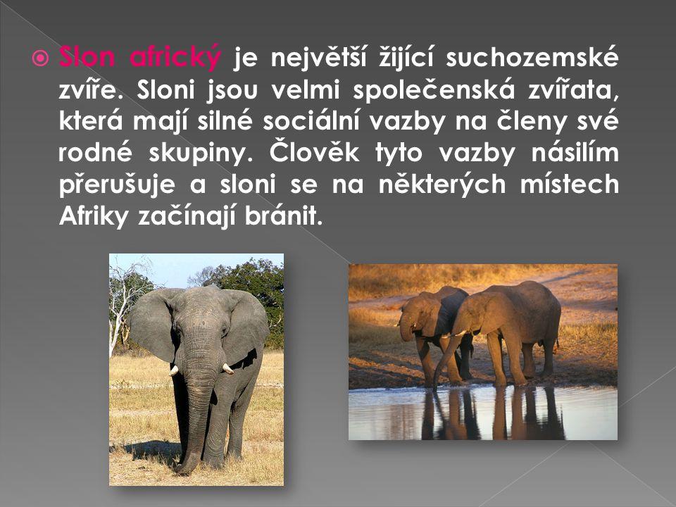  Slon africký je největší žijící suchozemské zvíře. Sloni jsou velmi společenská zvířata, která mají silné sociální vazby na členy své rodné skupiny.