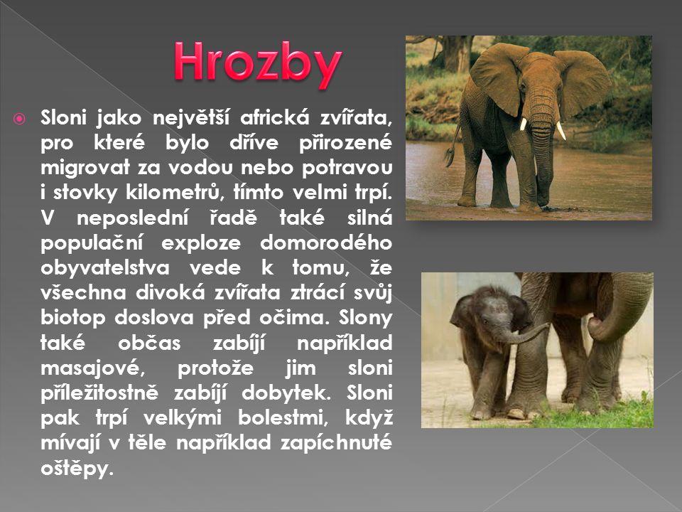  Sloni jako největší africká zvířata, pro které bylo dříve přirozené migrovat za vodou nebo potravou i stovky kilometrů, tímto velmi trpí. V neposled