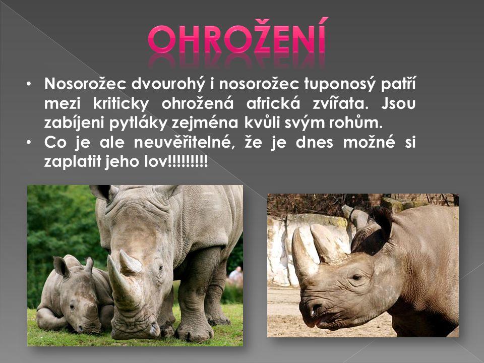 • Nosorožec dvourohý i nosorožec tuponosý patří mezi kriticky ohrožená africká zvířata. Jsou zabíjeni pytláky zejména kvůli svým rohům. • Co je ale ne