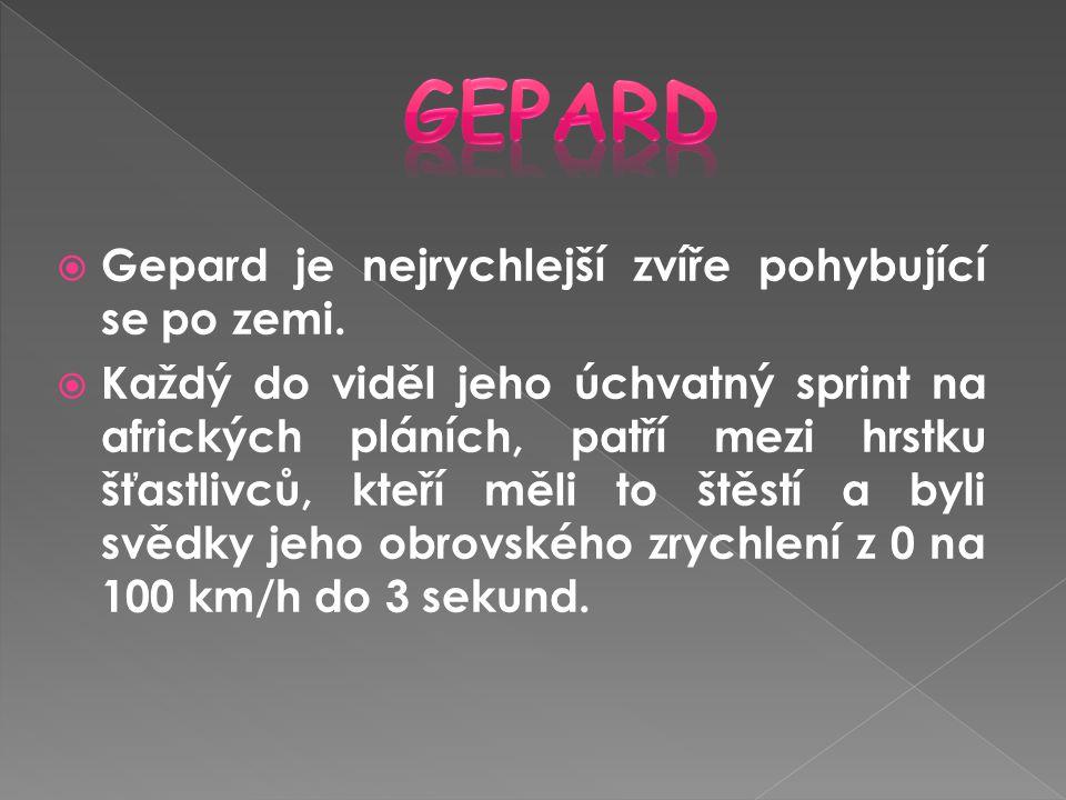  Gepard je nejrychlejší zvíře pohybující se po zemi.  Každý do viděl jeho úchvatný sprint na afrických pláních, patří mezi hrstku šťastlivců, kteří