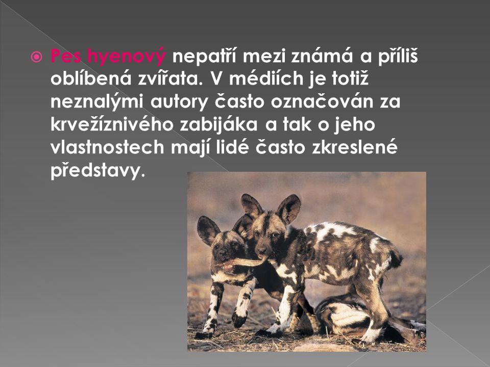  Pes hyenový nepatří mezi známá a příliš oblíbená zvířata. V médiích je totiž neznalými autory často označován za krvežíznivého zabijáka a tak o jeho