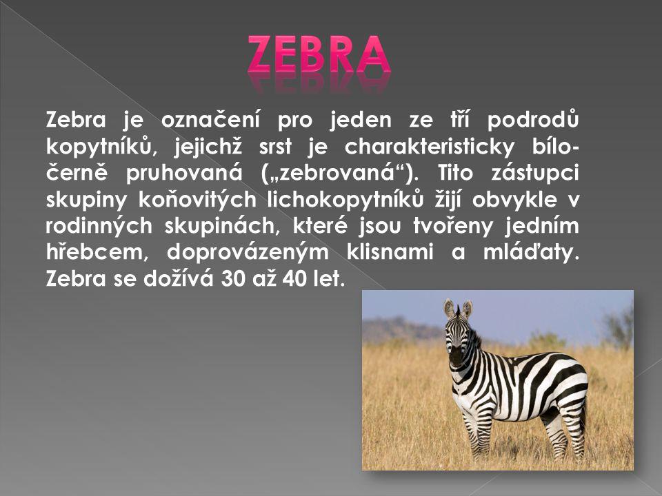 """Zebra je označení pro jeden ze tří podrodů kopytníků, jejichž srst je charakteristicky bílo- černě pruhovaná (""""zebrovaná""""). Tito zástupci skupiny koňo"""