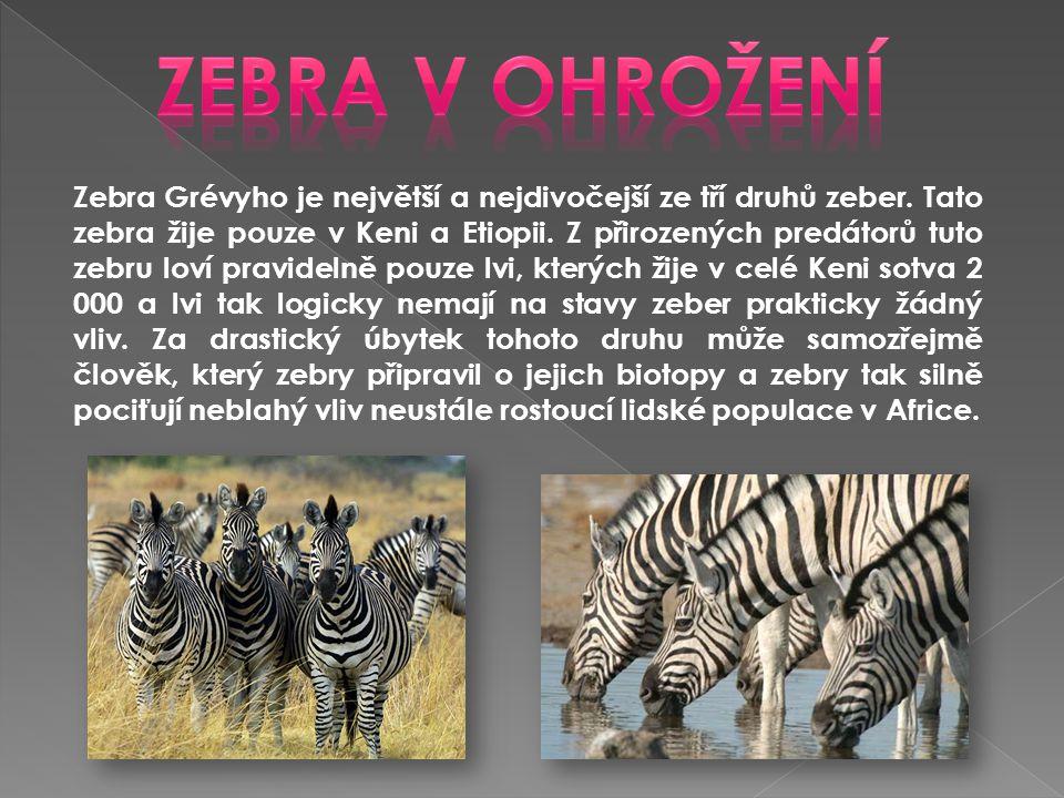 Zebra Grévyho je největší a nejdivočejší ze tří druhů zeber. Tato zebra žije pouze v Keni a Etiopii. Z přirozených predátorů tuto zebru loví pravideln