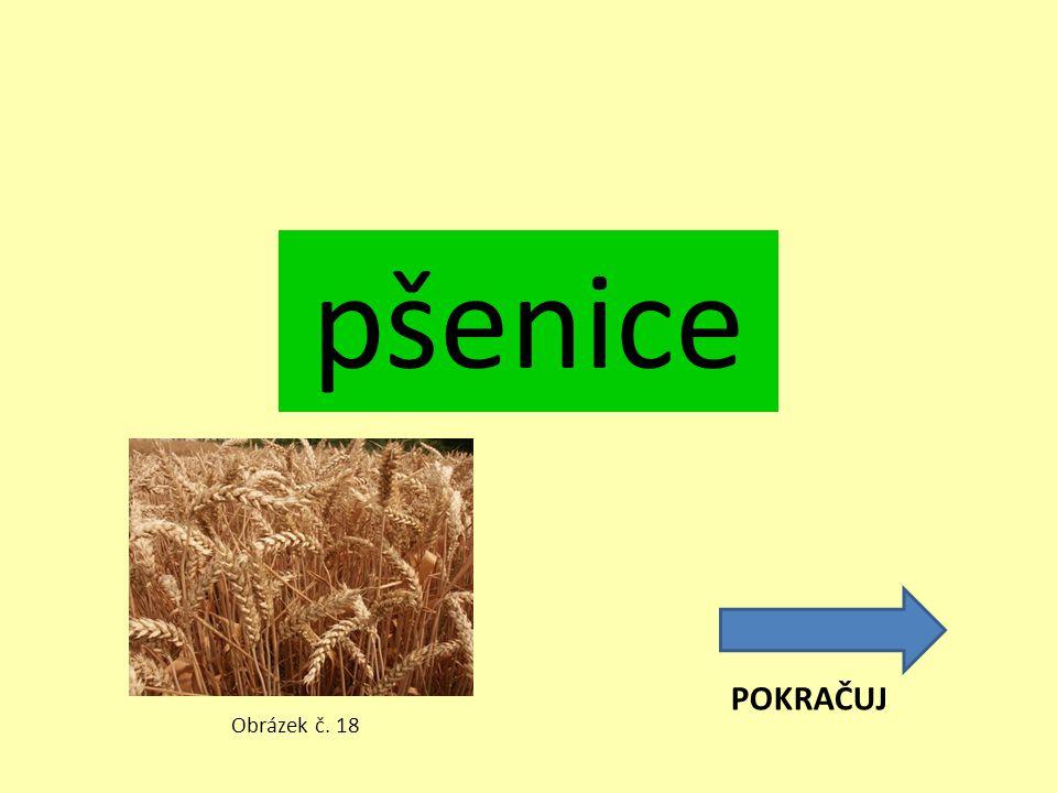 pšenice POKRAČUJ Obrázek č. 18