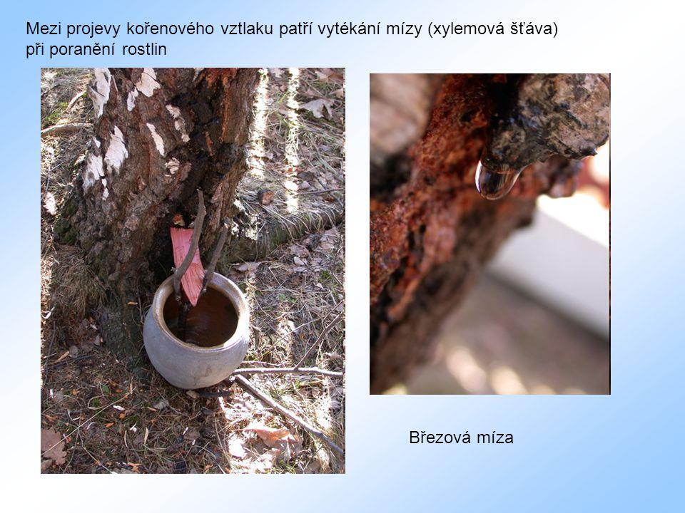 Mezi projevy kořenového vztlaku patří vytékání mízy (xylemová šťáva) při poranění rostlin Březová míza