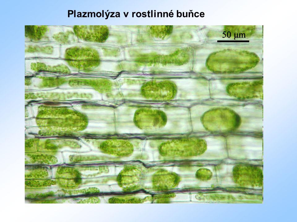 Vedení vody rostlinou 1)difůze a osmóza – u nižších a u malých rostlin 2) cévními svazky (cévy a cévice) pomocí transpiračního proudu
