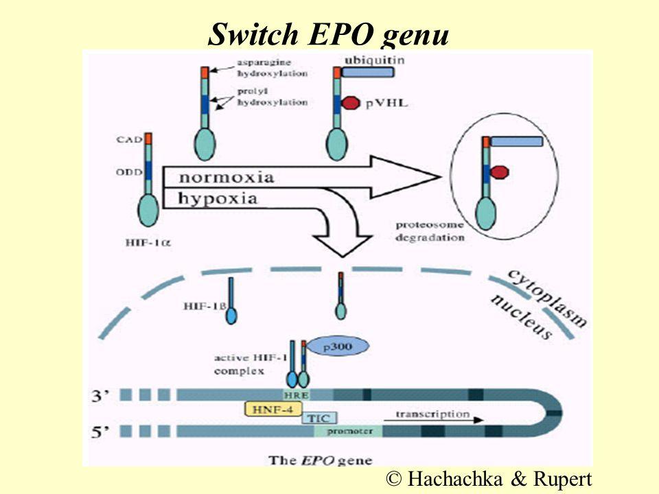 Aktivace exprese cAMP kaskádou •fosforylují se HIF–1α podjednotky (aktivace) nebo přímo transkripční faktory jádra (aktivace s minimem aktivního HIF–1α, pomalejší) •jde cestou p42/p44–MAP kinázou •probíhá i při hypoxii a má protektivní charakter na reakce – fosforylací thr796 je znemožněna hydroxylace asn803 FIH (PHD–2) •fosforylace usnadňuje dimerizaci a tvorbu iniciačních komplexů vč.