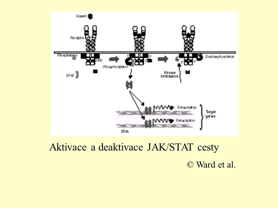 Exprese EPO–genu •hladinou kyslíku řízená exprese •hlavním regulátorem v kaskádě jsou proteiny HIF (Hypoxia–Inducible Factor) •HIF–1, HIF–2, HIF–3 •HIF – rodina PAS (Drosophila Period, ARNT and the Drosophila Single-minded proteins) intracelulárních oxygen–reagujících proteinů •HIF–1 a HIF–2 jsou pozitivní regulátory exprese •HIF–3 negativní regulátor exprese (také GATA–2 a NFκB, ale ty nepatří do rodiny HIF)