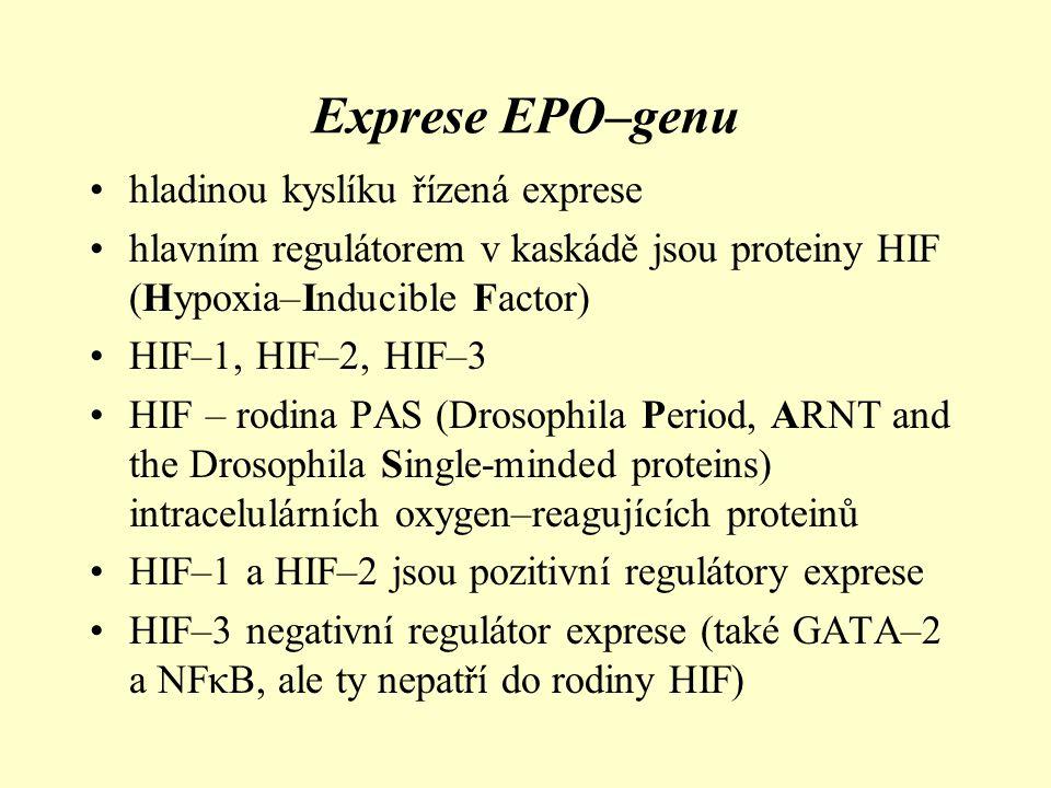 HIF–1 •skládá se ze dvou podjednotek – α a β (heterodimér) se strukturou helix–loop–helix–PAS doména •α podjednotka (cca 120 kDa) je v cytosolu a je oxygen–labilní; 14q21–q24 •β podjednotka (91–94 kDa) je nukleární, dimerizuje s HIF–1α i HIF–2α podjednotkou, kyslík independentní; je identická s ARNT (Aryl– hydrocarbon Receptor Nuclear Translocator) – podjenotka dimerizace s dioxynovým receptorem AHR (Aryl Hydrocarbon Receptor), míra její exprese a degradace je v průběhu času kontinuální; 1q21