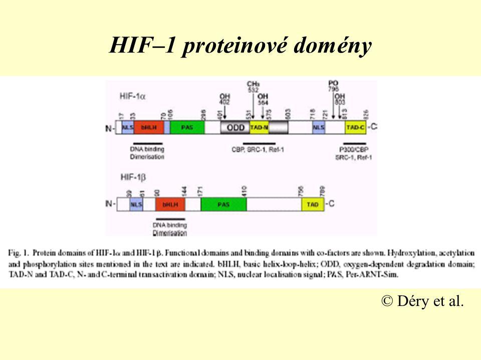 HIF-1α při normooxii •při normoxii jsou v bce jen minimální množství, její maximální syntéza následuje do 30 min od počátku hypoxie (produkci stimuluje kobalt a deferroxamin–jiný mechanismus indukce exprese) •při dostatku kyslíku podjednotka podléhá oxidaci (hydroxylaci) specifickou prolyl–hydrogenasou (PHD – α–ketoglutarát–Fe II –dependentní dioxygenasa) na pro402 a pro564, k ochraně před kyslíkovými radikály slouží askorbát
