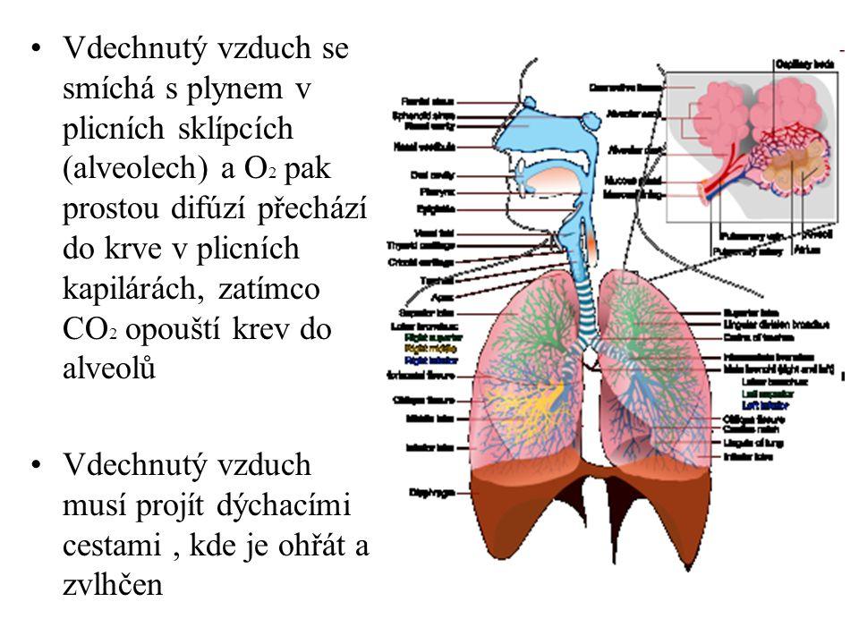 •Vdechnutý vzduch se smíchá s plynem v plicních sklípcích (alveolech) a O 2 pak prostou difúzí přechází do krve v plicních kapilárách, zatímco CO 2 op