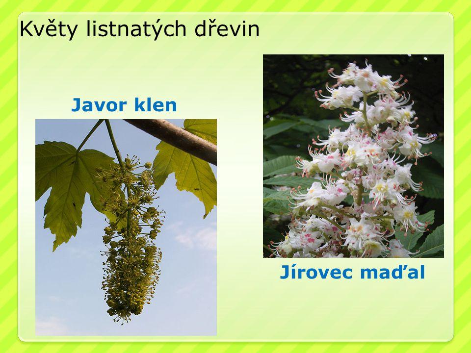 Jírovec maďal Květy listnatých dřevin Javor klen