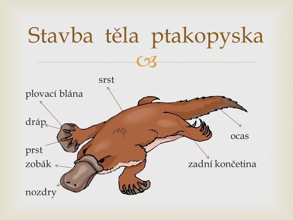  Kostra savců Je kostěná a tvoří ji lebka, páteř složená z obratlů, hrudník a kostra končetin.