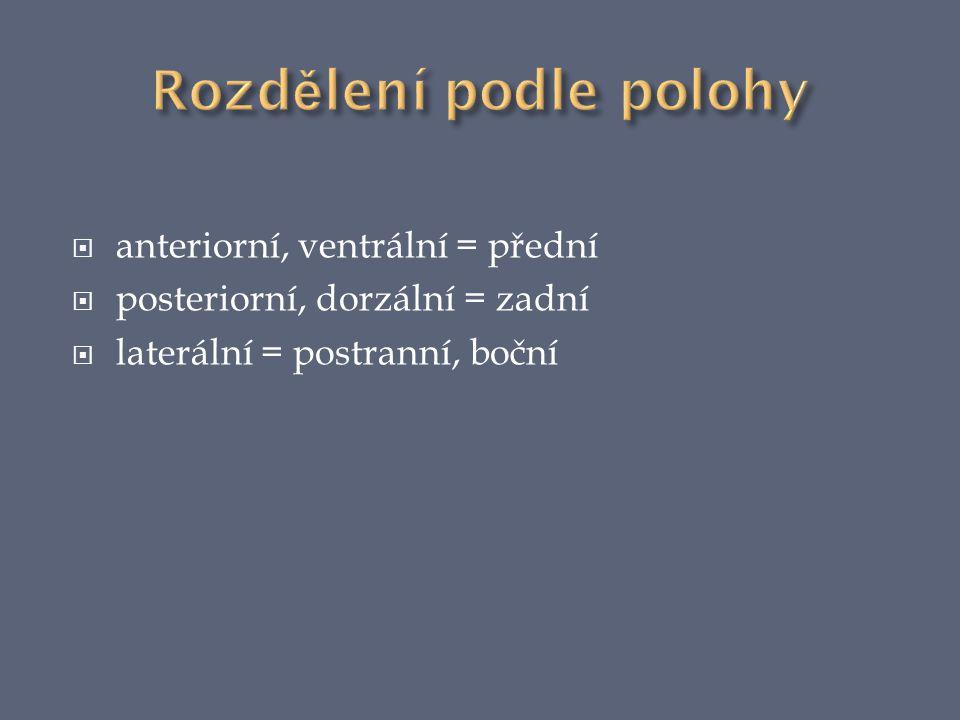  anteriorní, ventrální = přední  posteriorní, dorzální = zadní  laterální = postranní, boční