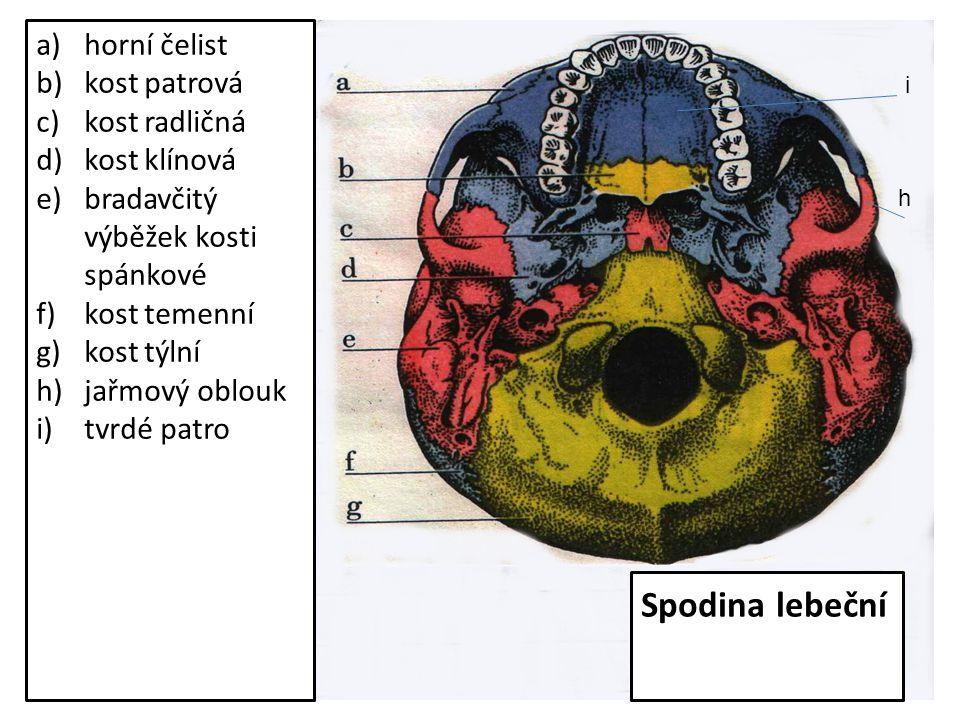 a)horní čelist b)kost patrová c)kost radličná d)kost klínová e)bradavčitý výběžek kosti spánkové f)kost temenní g)kost týlní h)jařmový oblouk i)tvrdé patro h i Spodina lebeční