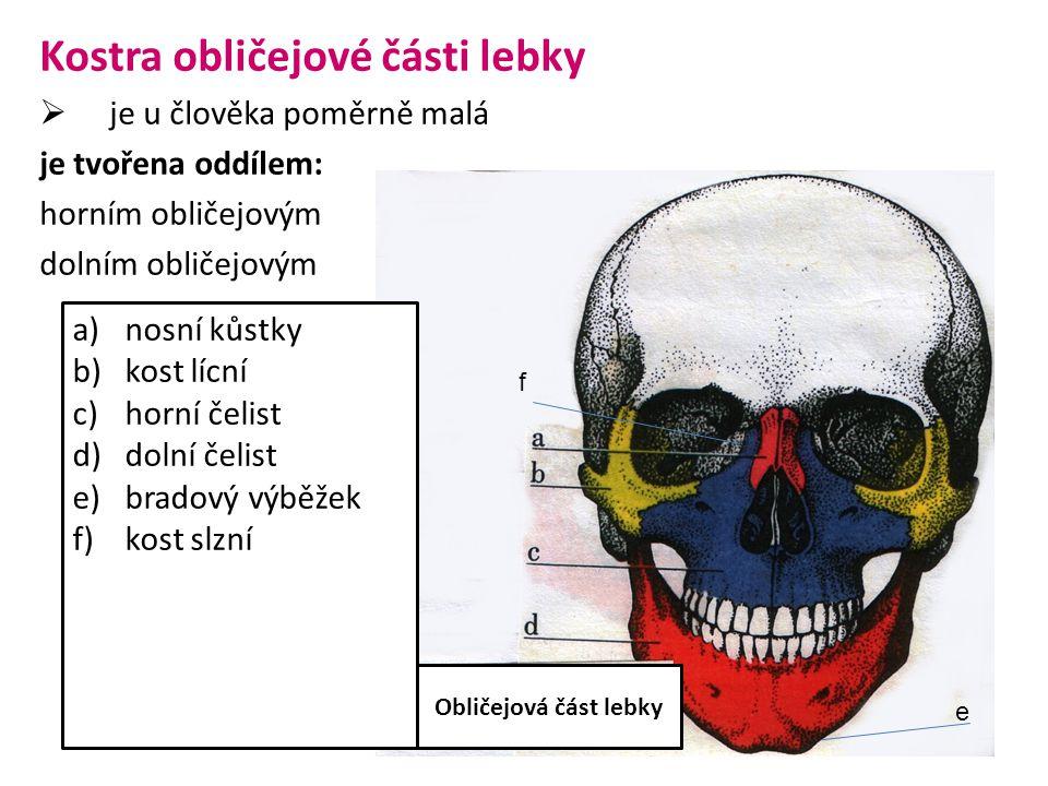 Kostra obličejové části lebky  je u člověka poměrně malá je tvořena oddílem: horním obličejovým dolním obličejovým a)nosní kůstky b)kost lícní c)horní čelist d)dolní čelist e)bradový výběžek f)kost slzní Obličejová část lebky e f