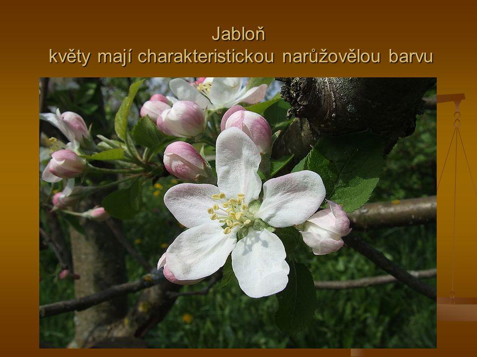 Jabloň květy mají charakteristickou narůžovělou barvu
